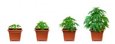 Marijuana growing phase