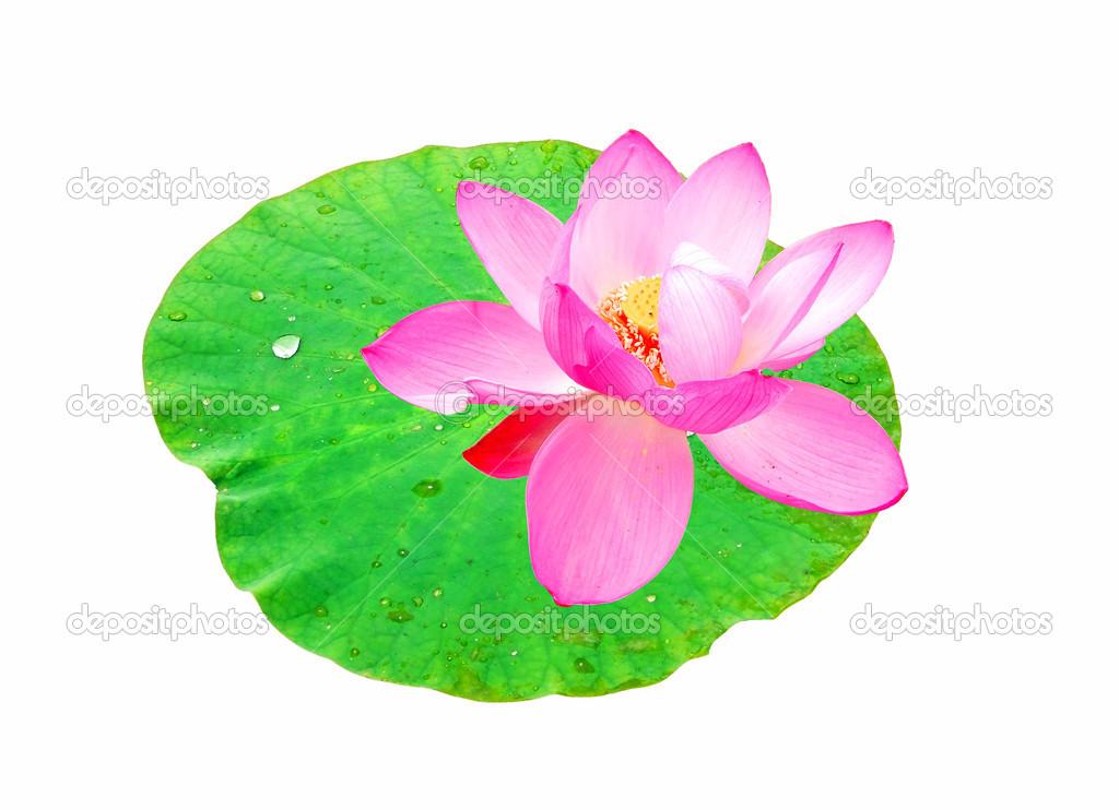 Lotusblüte auf dem weißen Hintergrund — Stockfoto © 5lesik5 #12251800
