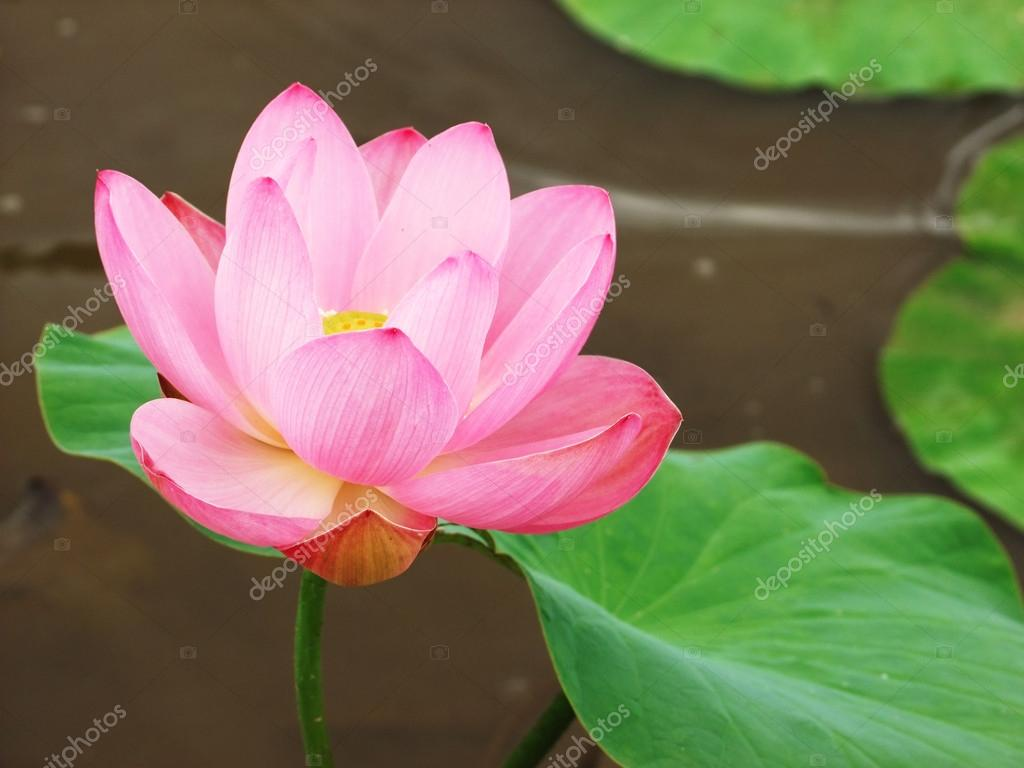 Pink Lotus Flower With Leaves A Pond Stock Photo 5lesik5 12251804