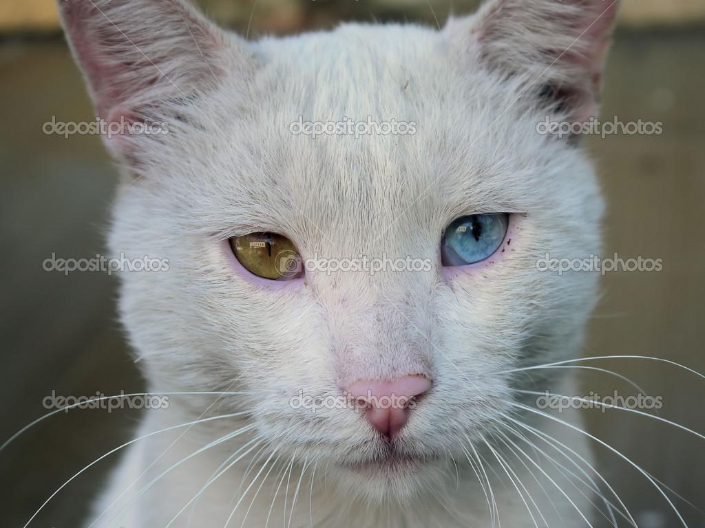 Occhi di gatto bianco di diversi colori foto stock - Occhi colori diversi ...