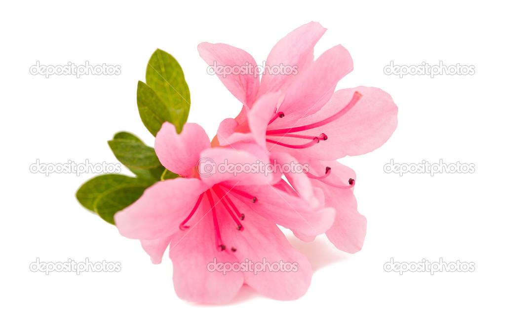 azalea bloem