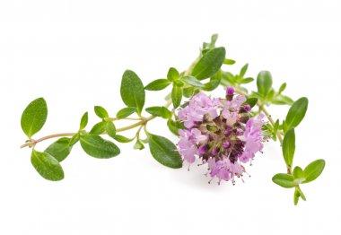 Thyme flowers