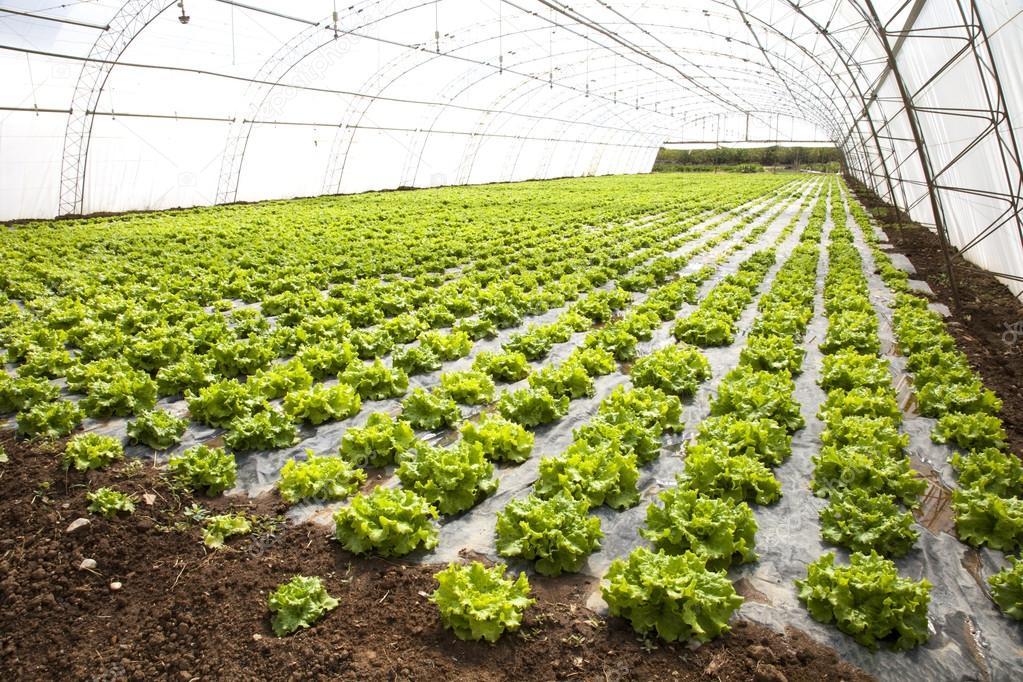 Чтобы осуществлять выращивание салата в теплице, необходимо придерживаться определенных требований.