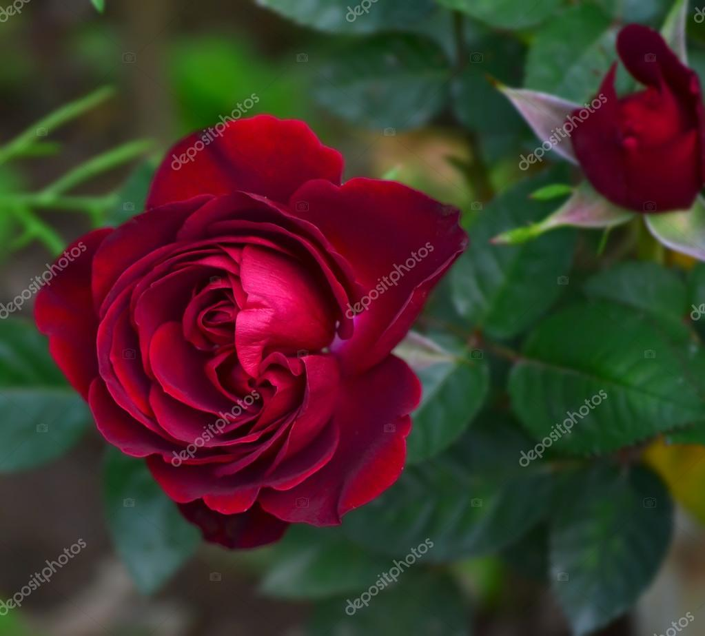 Red rose in the garden.
