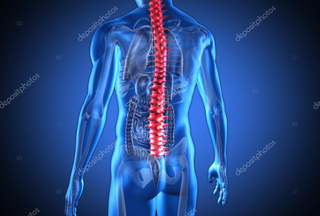 humano digital azul con espina dorsal roja resaltada y órganos ...