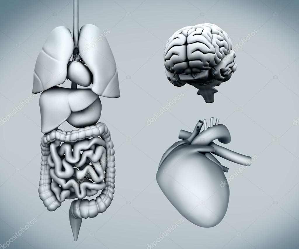 Diagrama de órganos humanos — Foto de stock © Wavebreakmedia #24114011