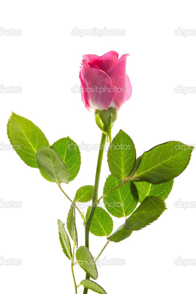 Rose rose en fleurs avec tige et feuilles photographie - Rose avec tige ...
