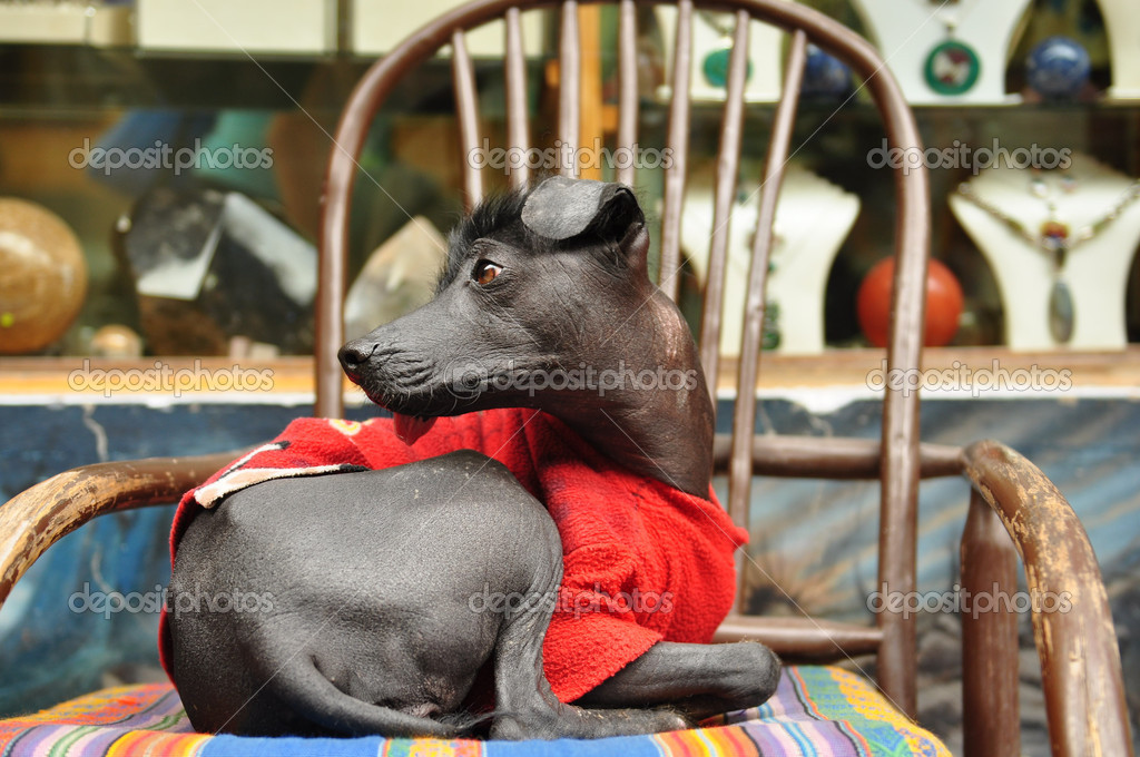 8e2f5cfb35c31 perros de raza exótica orquídea peruana inca — Fotos de Stock ...