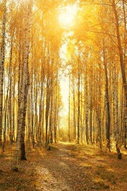 Birch autumnal alley