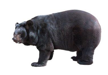 Asiatic black bear standing