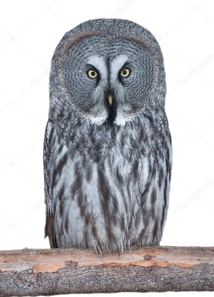 grey owl il gufo grigio ita