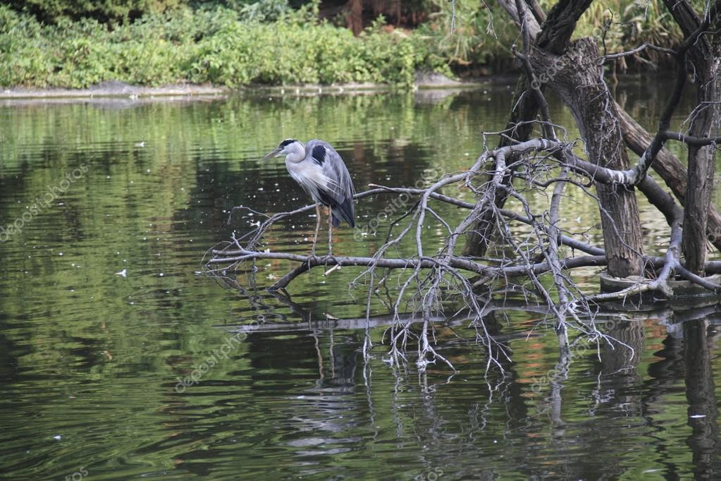 American heron