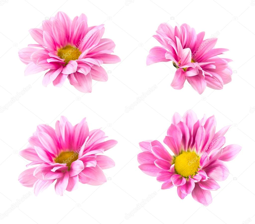 Collage blooming pink chrysanthemum