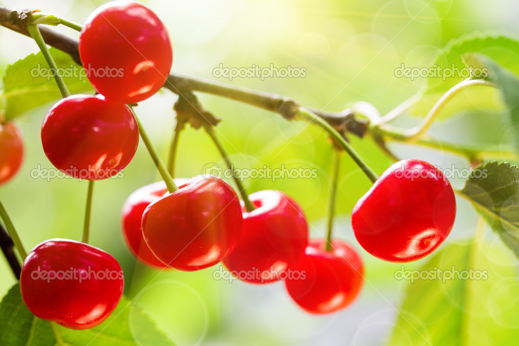 Cherries on a tree branch
