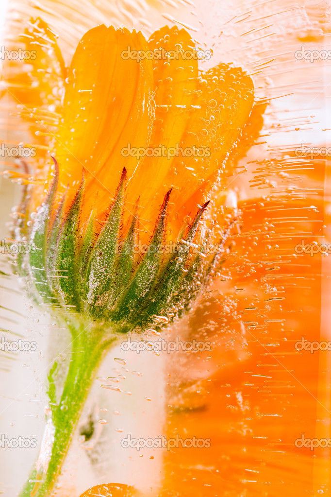 Marigold flower frozen in ice