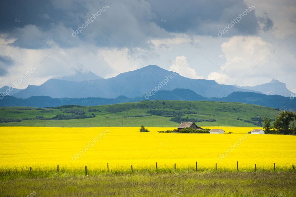 Farm house in field of canola