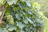 Zelená vyzrálý a zralé bílé vinné hrozny