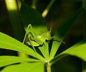 Zelená kobylka na list