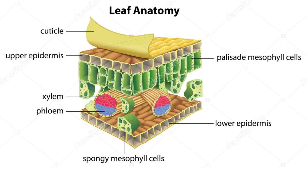 Structure of a leaf
