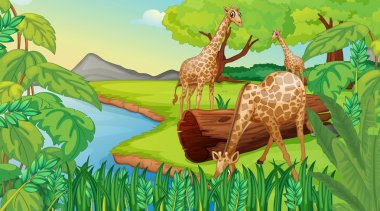 Three giraffes at the riverside