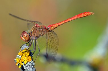 Red dragonfly at rest sympetrum vulgatum