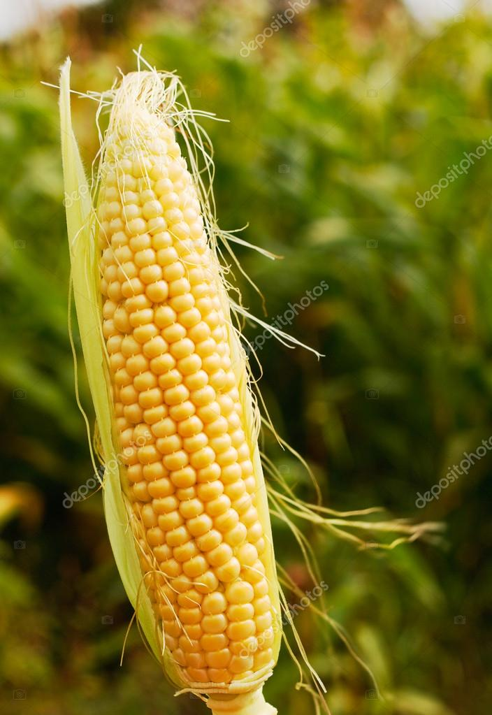 Ear of corn popular farm animal feed