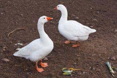 domestic farm animals white geese