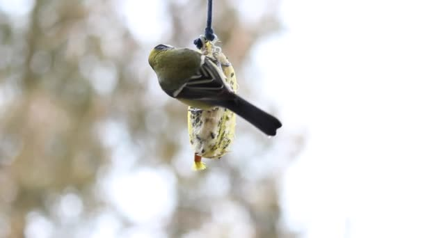 Tit on bird feeder