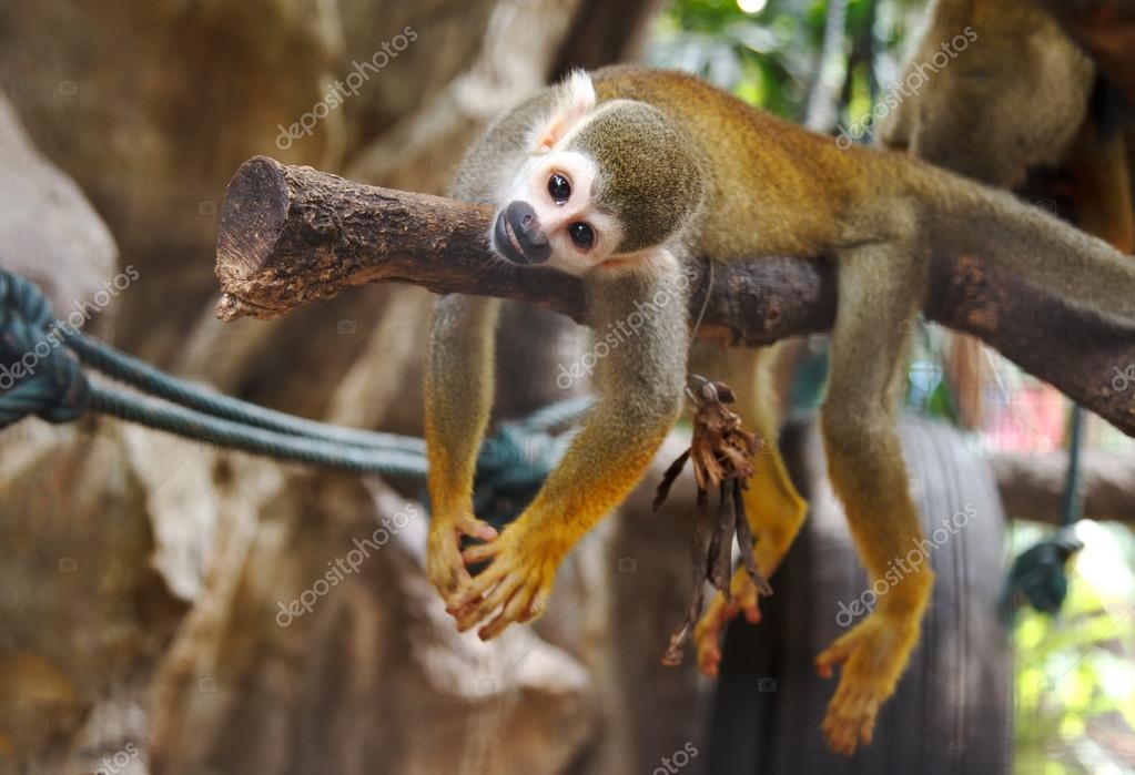 Squirel Monkey ,Saimiri sciureus