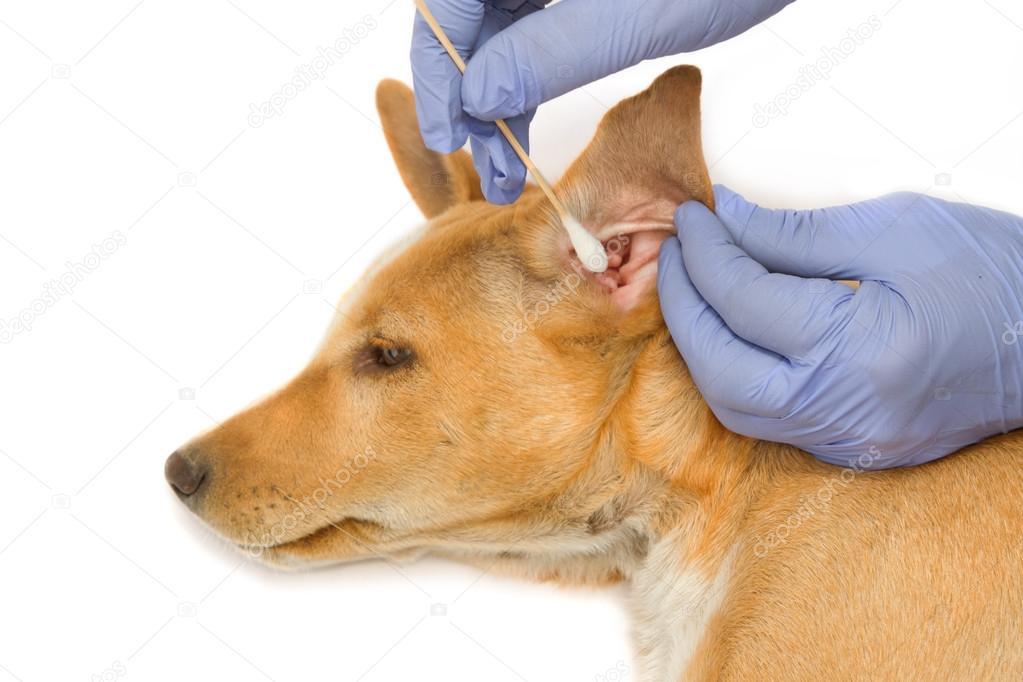 dog ear problems - 1000×667