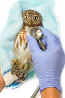 veterinarian holding and checkup Asian Barred Owlet