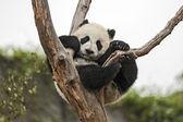 Baba panda