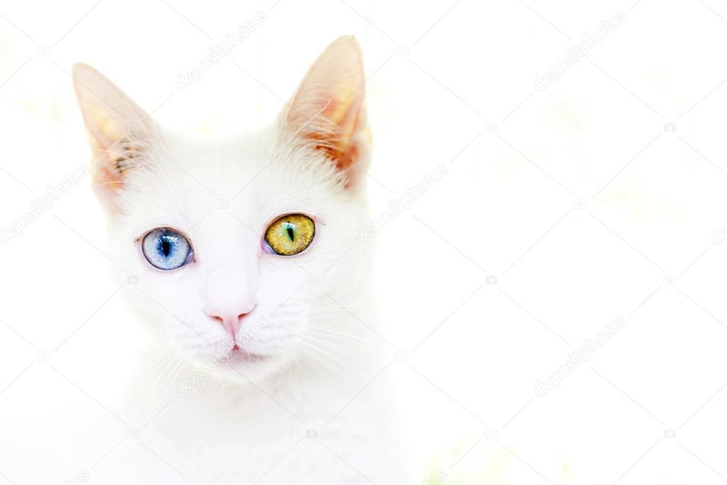 Gatto bianco con occhi diversi foto stock c hughes 23769899 - Husky con occhi diversi ...