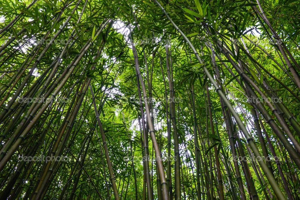 Bambus Wald In Maui Hawaii Stockfoto C Slickspics 33199433