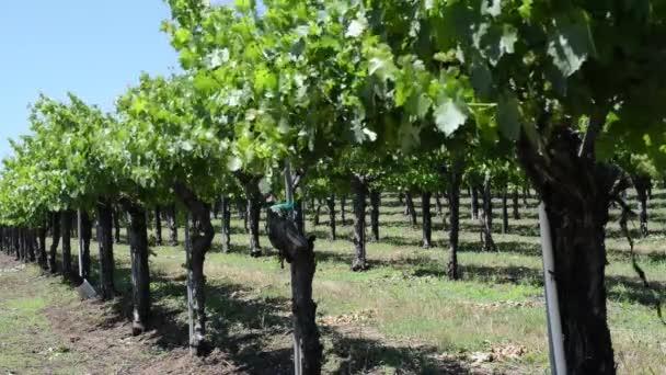 Grapevine in California