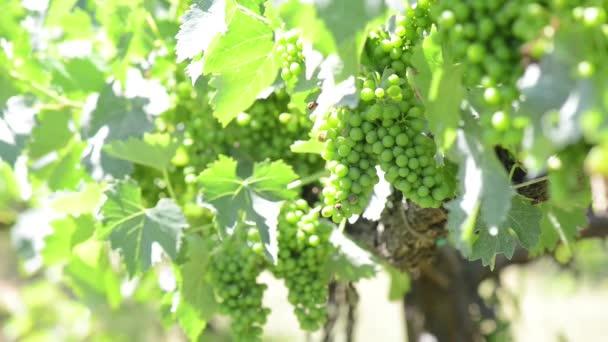 szőlő a szőlőn