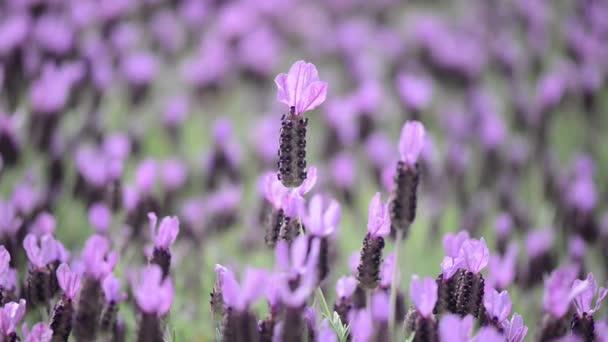 Lavendel Blume