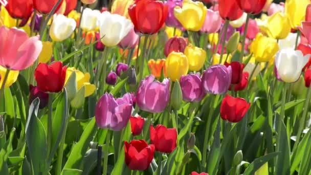 Tulipán zahrada