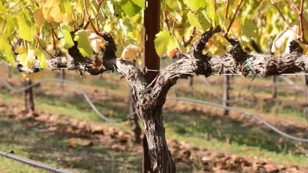 vinice na podzim