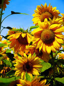 Bright yellow sunflowers on blue sky