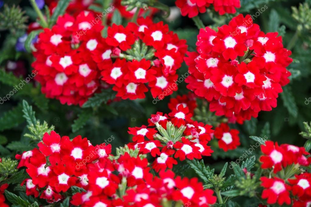 fleurs de verveine rouge et blanc — Photographie Moskwa © #39497305