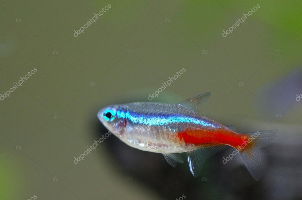 Neon aquarium fish
