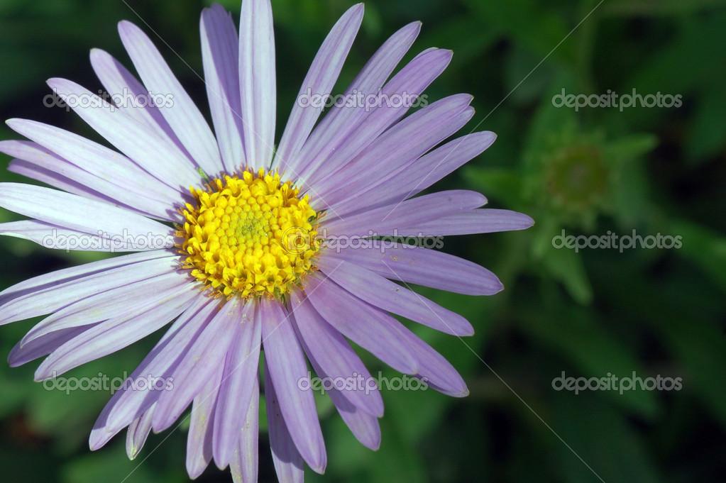 Fleur mauve clair — Photographie gyurma © #45720553