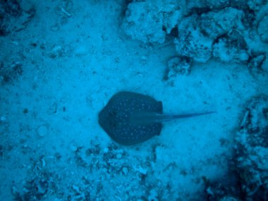 Taeniura lymma in Red Sea