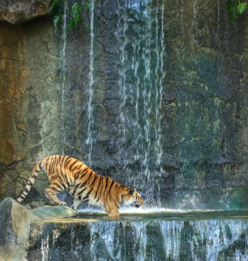 bengal tiger standing on the rock