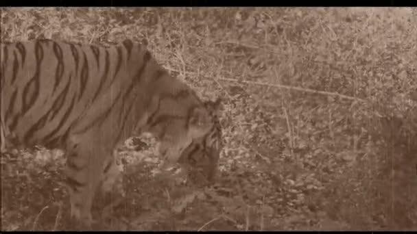 tigre del Bengala a piedi