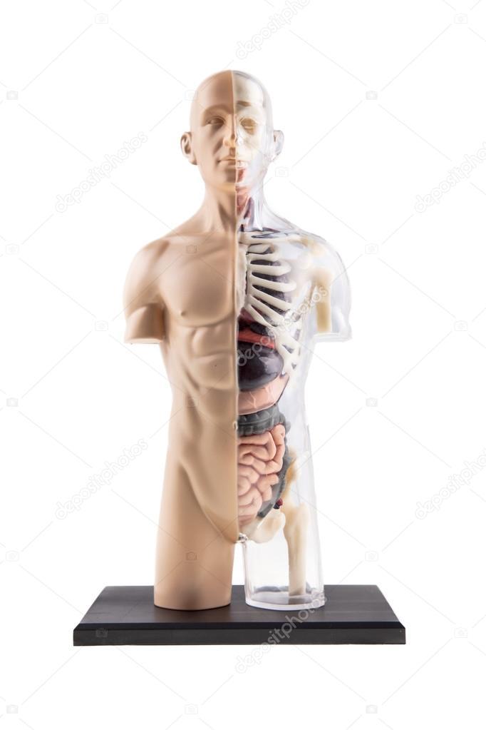 Diagrama de sección transversal figura del cuerpo humano - órganos y ...