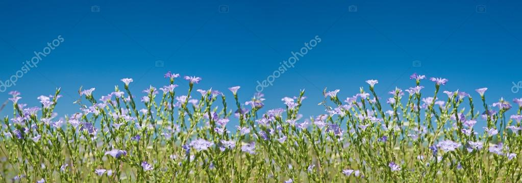 Blooming Flax panoramic view