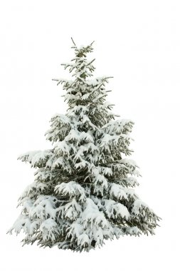 Snow-covered fur-tree on a white