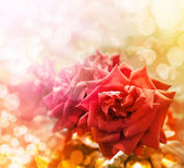 Vintage Pohlednice s krásnou růží